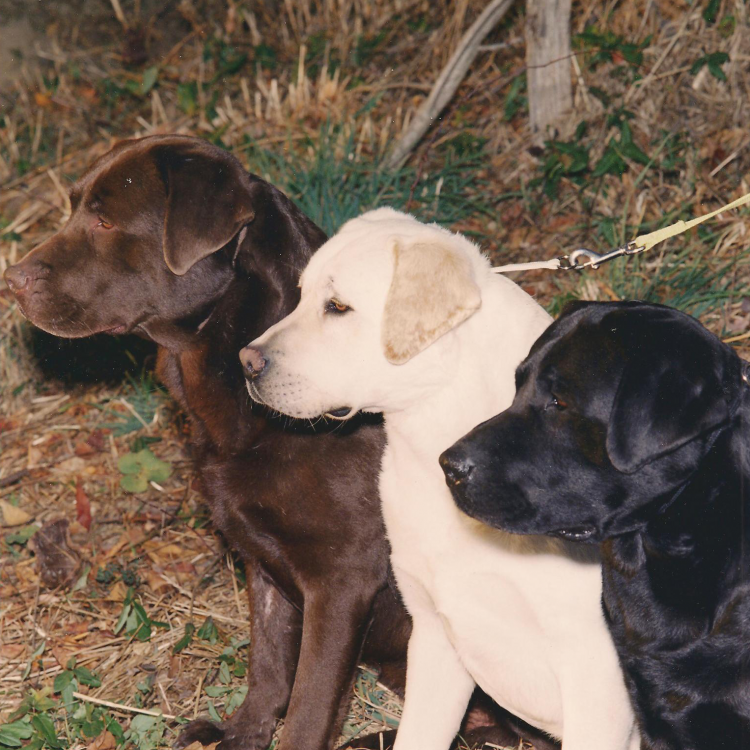 Belquest Conclusion - Breeding Extraordinary Labradors Since 1972