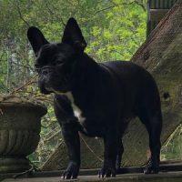 Vienna French Bull Dog